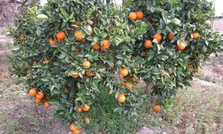 Citricultores afectados por temporada de calor
