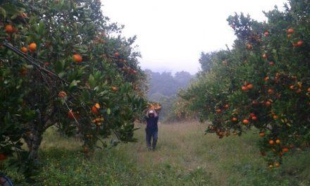 Decae producción citrícola en la región