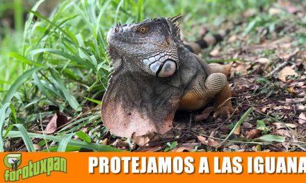 Protejamos a la Iguana