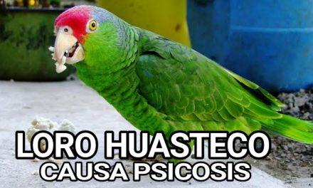 Loro Huasteco causa PSICOSIS